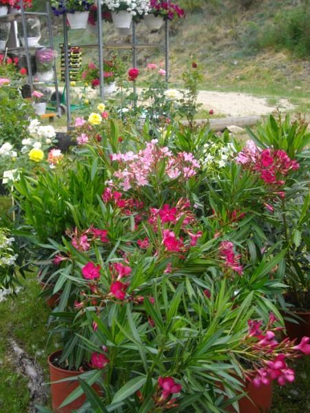 Les exposants du march aux plantes de rochepaule 2011 for Plante kefir